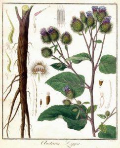 Bardana   (Arctium luppa )